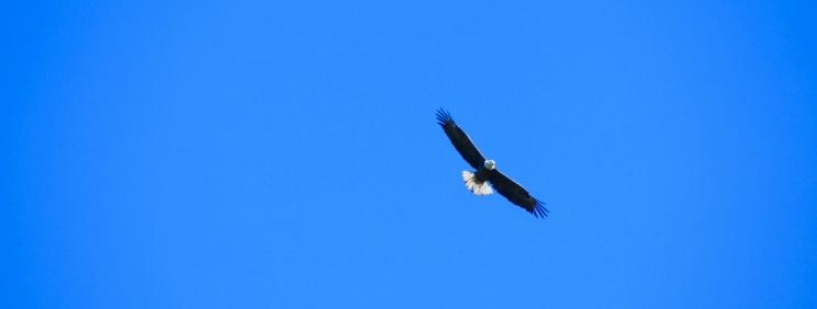 Weisskopfseeadler….das Wappentier der Vereinigten Staaten von Amerika! Hier gibt es sie noch....